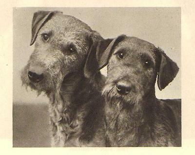"Irish Terrier ""P"" - 1931 Vintage Dog Print - MATTED"