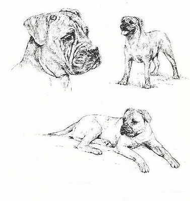 Bullmastiff - 1963 Vintage Dog Print - Matted *