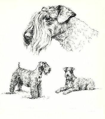 Kerry Blue Terrier - 1963 Vintage Dog Print - Matted *