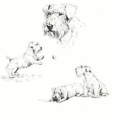 Sealyham Terrier - 1963 Vintage Dog Print - Matted *