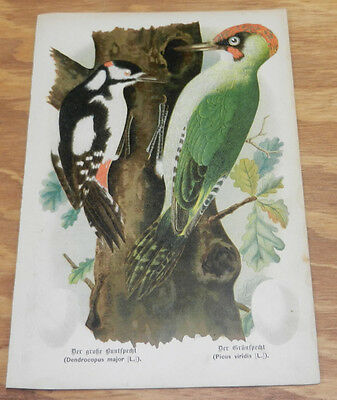 1895 Antique COLOR Bird Print/GREAT SPOTTED WOODPECKER & GREEN WOODPECKER