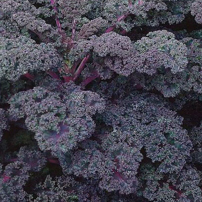Vegetable  Kale / Borecole Scarlet  600 Seeds  ** Free Uk P&p **