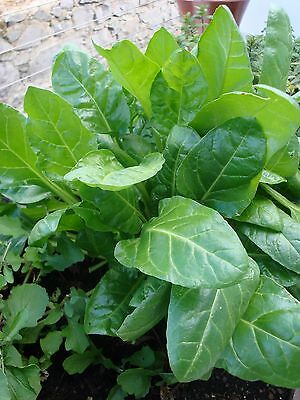 Vegetable  Spinach Perpetual  6 Gram ~ 300 Seeds ** Free Uk P&p **