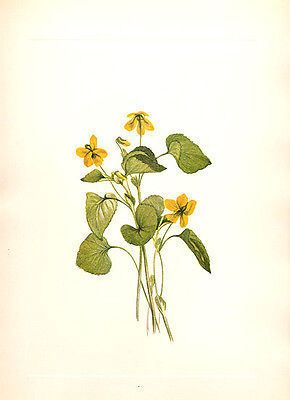 224 ~ WILD DOWNY SMOOTH YELLOW VIOLET ~ Walcott 1925 Botanical Floral Art Print
