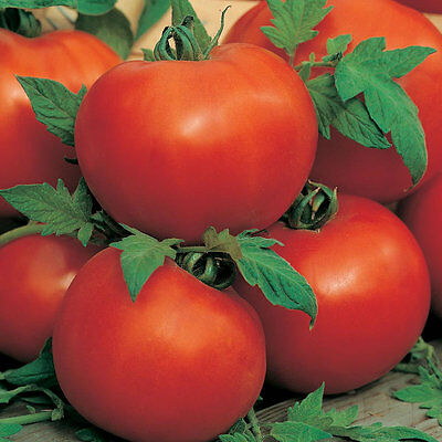 Tomato - Ailsa Craig  - 60 Finest Seeds ** Free Uk P&p **