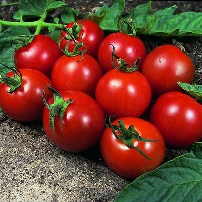 Tomato - Alicante - 60 Seeds ** Free Uk P&p **
