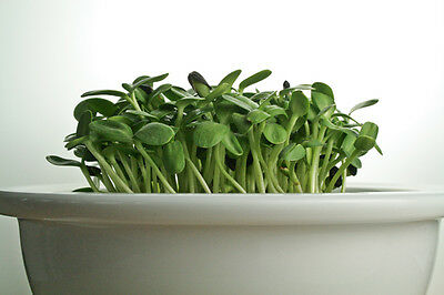 SPROUTING SUNFLOWER SEEDS - ORGANIC / BIO - 40gm / 200gm / 400gm