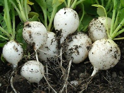 Vegetable  Radish White Hailstone  3000 Seeds