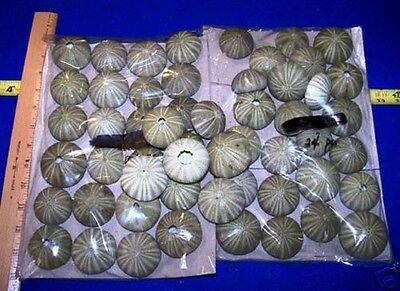 25 large - GREEN SEA URCHINS SHELLS SEASHELLS CRAFTS WEDDINGS +  ITEM # GUL-25