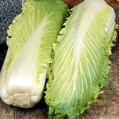 Chinese Cabbage - Michihili - 1000 Finest Seeds