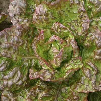 Vegetable  Lettuce Marvel Of 4 Seasons  3000 Seeds