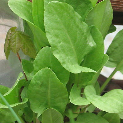 Herb  Sorrel Rumex Acetosa 3000 Finest Seeds