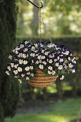 Pansy Trailing Winter Flowering - Cool Wave - Violet Wing - 20 Seeds
