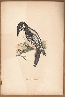 Hairy Woodpecker Bird -  Original c1860 Morris H/C Print