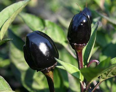Organic Vegetable  Hot Chilli Pepper Black Olive  60 Seeds