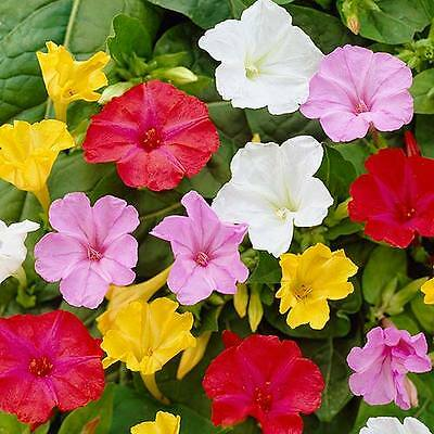 Flower Mirabilis Marvel Of Peru Four O'clock Mix 80 Seeds