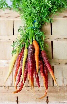 CARROT Heirloom Mix 100 seeds *ORGANIC* RARE vegetable garden RAINBOW colour MIX