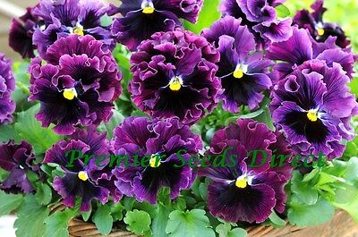 Flower Pansy Winter Flowering Frizzle Sizzle F1 Burgundy 30 Seeds