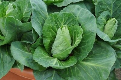 Vegetable  Cabbage Greyhound  2200 Finest Seeds