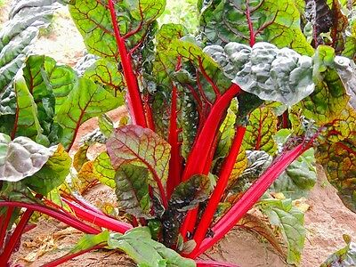Swiss Chard - Ruby Red - 300 Seeds