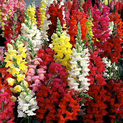 Flower Antirrhinum Snapdragon Tetra Mixed - 4000  Seeds