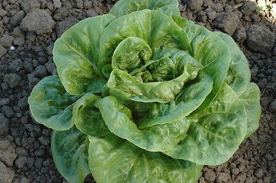 Vegetable  Lettuce Winter Density  3 Gram ~ 3000 Seeds