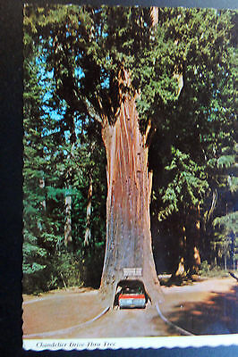 Chevy Chevelle in the Chandelier Drive-Thru Tree Continental Postcard @1970
