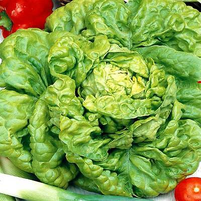 Vegetable  Lettuce All Year Round  8500 Finest Seeds