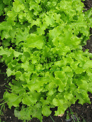 Vegetable  Lettuce Salad Bowl Green  8000 Seeds