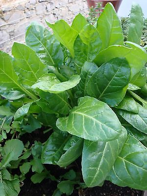 Spinach Perpetual  14 Gram ~ 700 Seeds