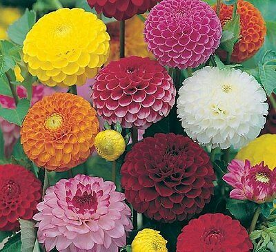 Flower Dahlia Pompone Double Mixed - 200 Finest Seeds