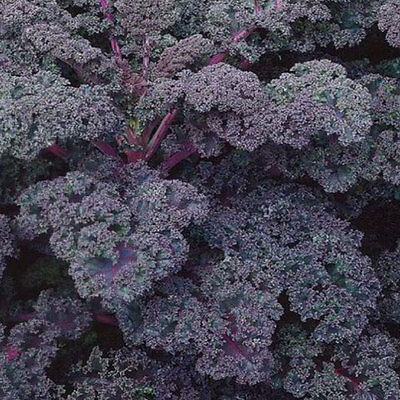 Vegetable  Kale / Borecole  Scarlet  2200 Finest Seeds