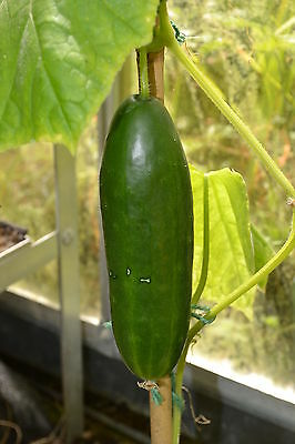 Vegetable  Cucumber La Diva F1  30 Finest Seeds