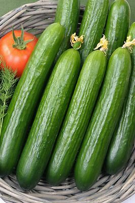 Vegetable  Cucumber  Femspot F1 (Greenhouse) 5 Finest Seeds  All Female Flowered