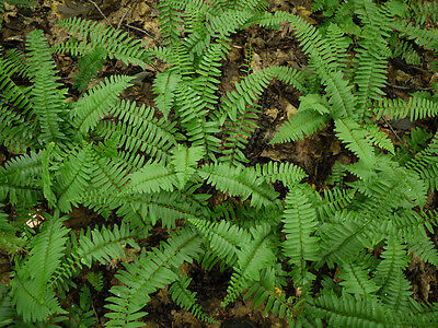 3  Christmas Fern Bare root stock