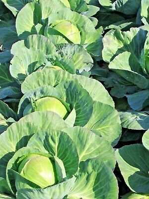 CABBAGE 'Golden Acre' 150 seeds WINTER VEGETABLE GARDEN non gmo HEIRLOOM VEG