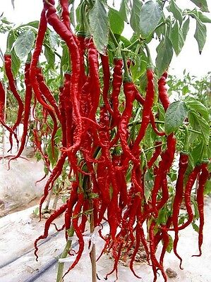 SIVRI BIBER TURKISH LONG RED CHILLI PEPPER SEEDS Medium-Hot Grow over 30cm long