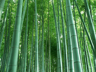 Free Post Australia Mixed Colour Bamboo Seeds Tall Exotic Plant Seed