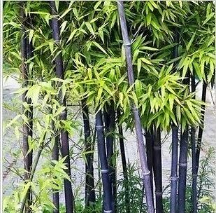 Free Post Australia Black Bamboo Seeds Tallest Exotic Plant Seed