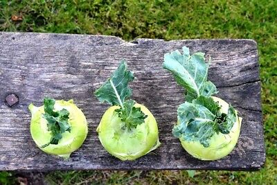 KOHL RABI 'White Vienna' 150+ seeds vegetable garden winter UNUSUAL stews soups