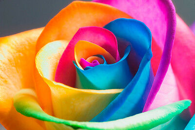 200 Rare Rainbow Rose Flower Seeds Your Lover Multi-color Plants Home Garden