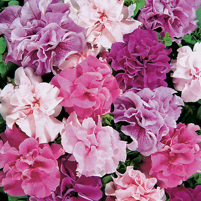 Flower Petunia Hybrid Double Mixed 0.05Gm Approx 500 Seeds