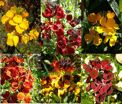 Flower Wallflower English  Bedding Mixed 1800 Seeds