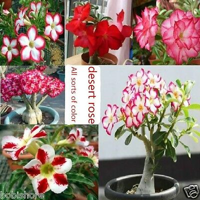 Adenium Obesum Mixed Colors Desert Rose Seeds  Red Pink White FREE POST