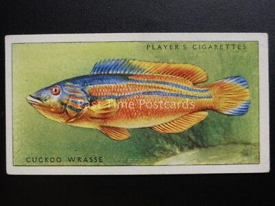 No.29 CUCKOO WRASSE - Sea Fishes - John Player & Sons 1935
