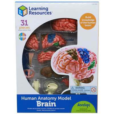 Learning Resources Brain Anatomy Model For Children Science New