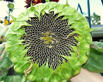 FREE POST AUSTRALIA Giant Head Black Sunflower Seeds Exotic Garden Plant Seed
