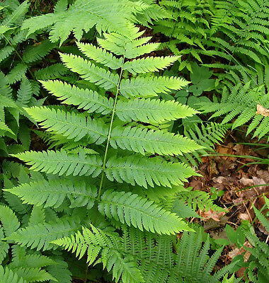 5 Tn Ostrich Fern  aka Glade Fern Bare root stock 1 of our most  Popular Fern!