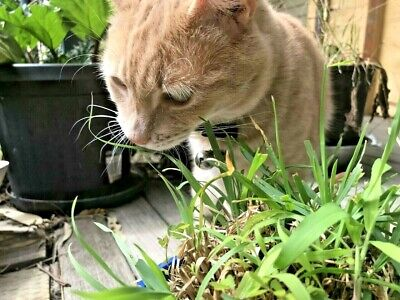 CATGRASS 500+ SEEDS easy to grow cat grass CATS LOVE IT nutritious quick growing