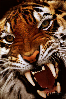 Bengal Tiger Close-Up Poster Print, 24x36